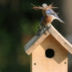 A picture of bluebirds, captured by Tammie Schmidt